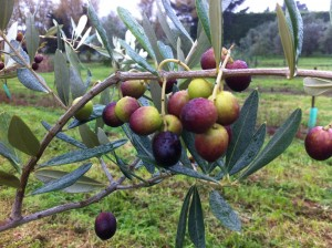 Lecchino olives ripe for the picking.