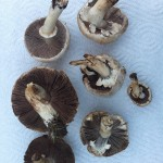 Foraged mushrooms from QE Park
